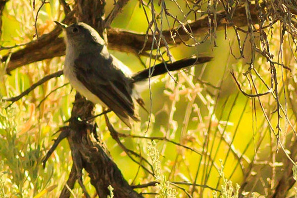 A Gray Vireo taken Aug. 16, 2011 near Fruita, CO.