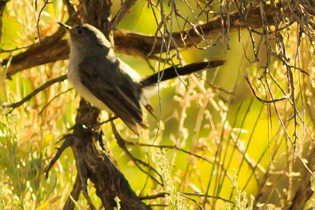 A Gray Vireo taken Aug. 16, 2011 near Fruita, CO.
