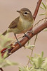 A Warbling Vireo taken May 18, 2010 in Fruita, CO.