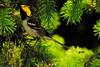 A  Hermit Warbler taken June 11, 2011 near Bridgeville, CA.