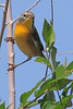 A Nashville Warbler taken Sep 30, 2010 near Fruita, CO.