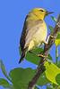 An Orange-crowned Warbler taken April 17, 2010 near Arcata,CA.