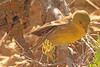 An Orange-crowned Warbler taken Jun 13, 2010 near Fruita, CO.