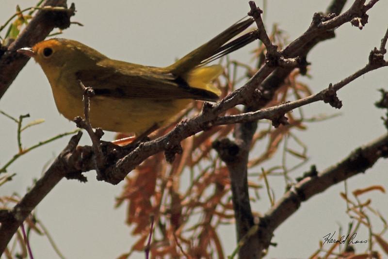 A Wilson's Warbler taken Oct 2, 2010 near Portales, NM.