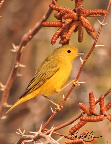 An Yellow Warbler taken Feb 4, 2010 in Gilbert, AZ.