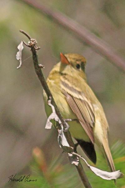 A Yellow Warbler taken Apr 22, 2010 near Bridgeville, CA.