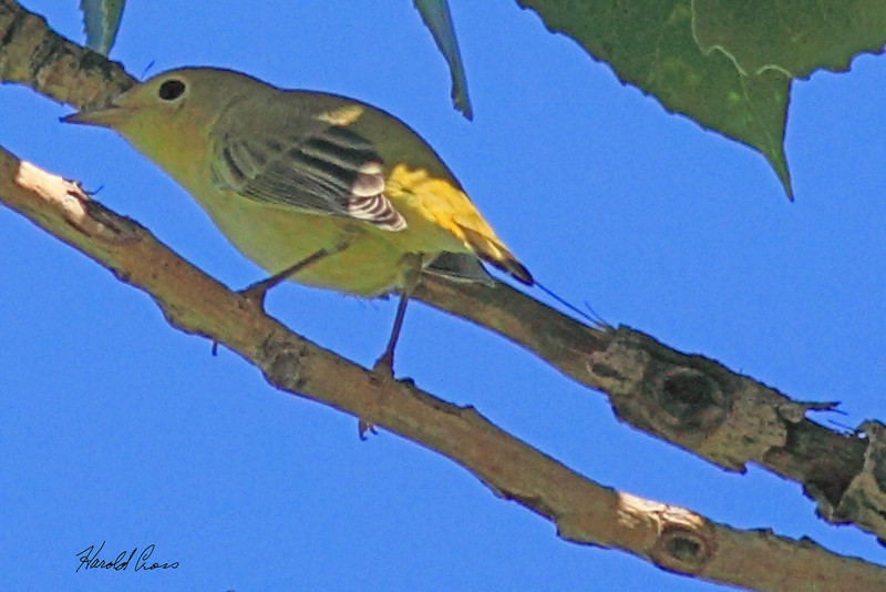 An Yellow Warbler taken Aug 9, 2010 near Denver, CO.