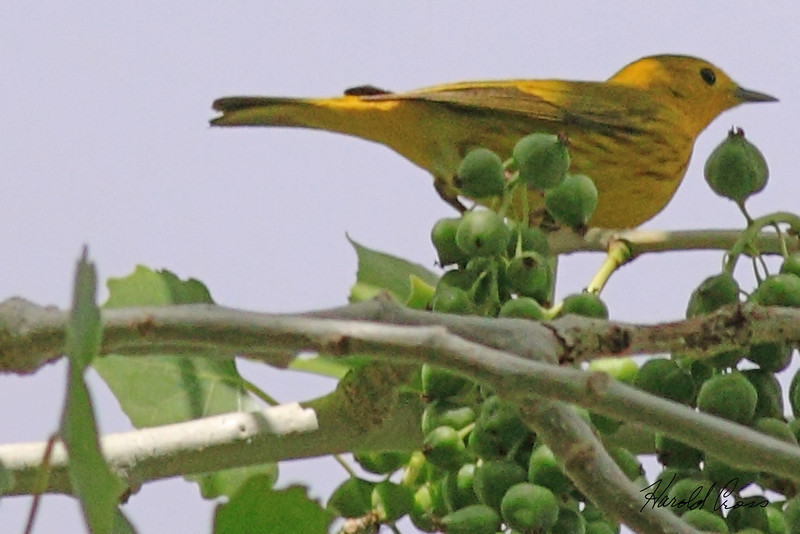 A Yellow Warbler taken May 18, 2010 in Grand Junction, CO.