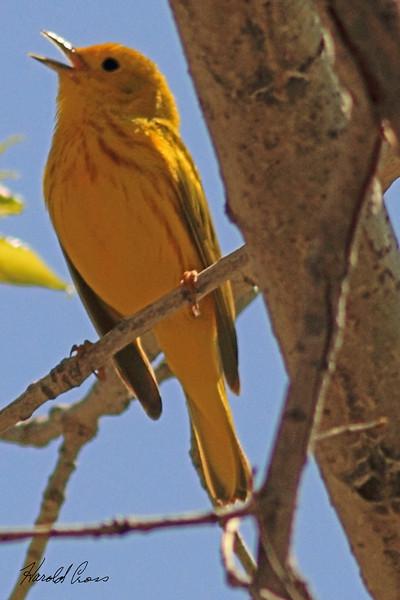 A Yellow Warbler taken May 13, 2011 near Denver, CO.