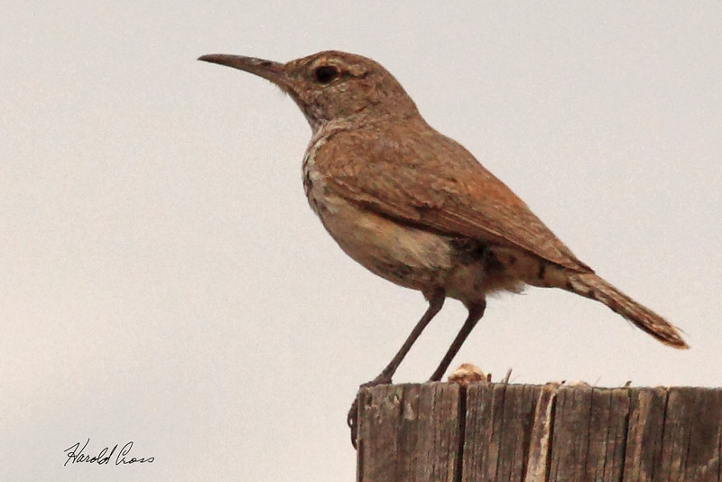 A Rock Wren  taken Jun 11, 2010 near Fruita, CO.