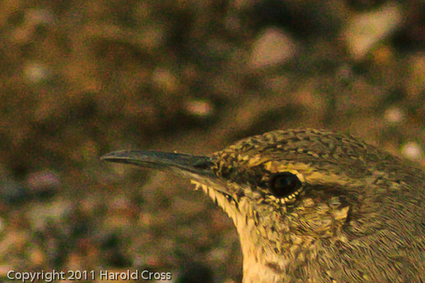 A Rock Wren taken Nov. 4, 2011 near Salt River, AZ.