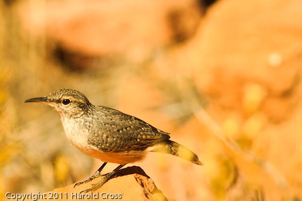A Rock Wren taken Aug. 26, 2011 near Moab, Utah.