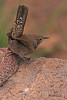 A Winter Wren taken Sep 3, 2010 near Cimmaron, CO.