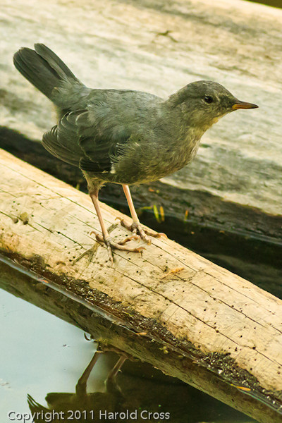 An American Dipper taken Aug. 25, 2001 near Grand Mesa, CO.