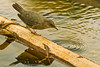 An American Dipper taken Aug. 25, 2001 near Grand Mesa, CO.