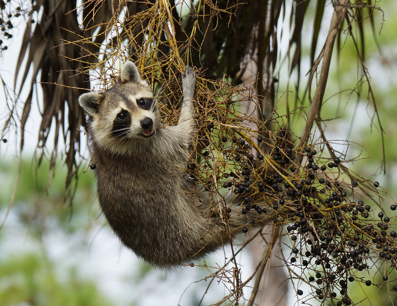 Raccoon in Sabal Palm