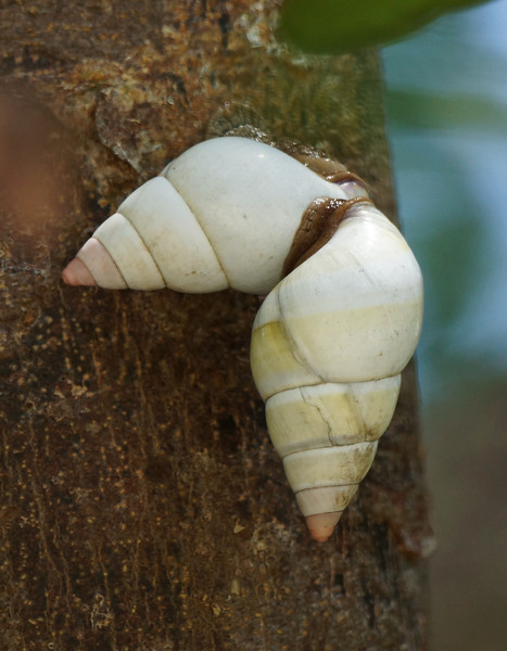 Tropical Tree Snails