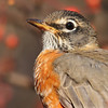 Robin closeup