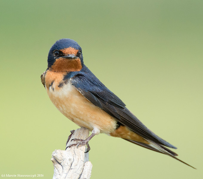 Posing barn swallow