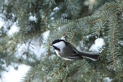 Black-Capped Chicadees