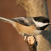 Chickadee at dawn
