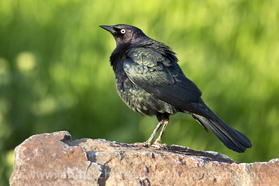Male Brewer's Blackbird at Sun Lakes State Park near Coulee City, Washington.