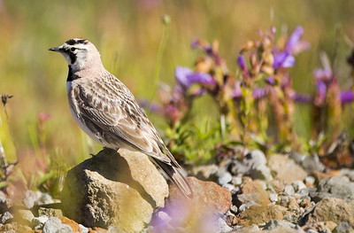 Horned Lark the Loowit Viewpoint of the Mt. St. Helens National Volcanic Monument in Washington.