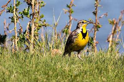Western Meadowlark at the Belle Fourche National Wildlife Refuge in South Dakota.