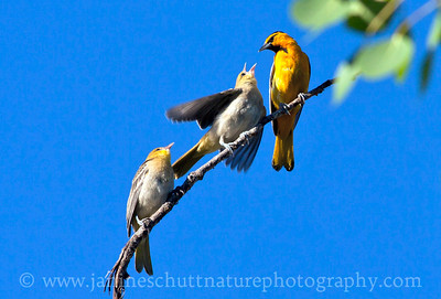 Feed me!  Male Bullock's Oriole with young.  Photo taken near Winthrop, Washington.