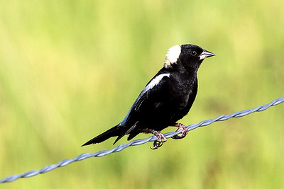 Male Bobolink at the Lostwood National Wildlife Refuge in Burke County, North Dakota.
