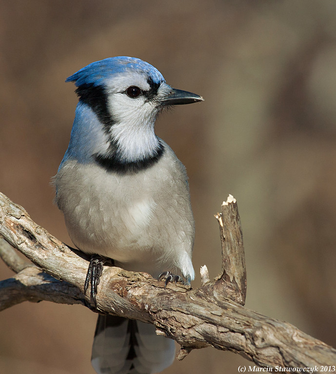 Blue jay on the branch