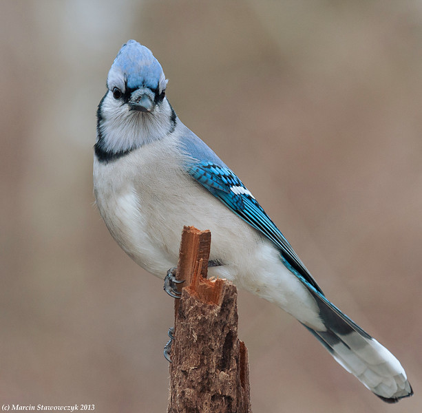 Posing bluejay