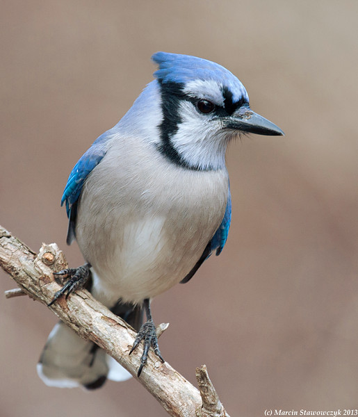 Bluejay on a cloudy day