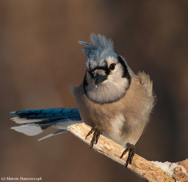 Bluejay on the perch