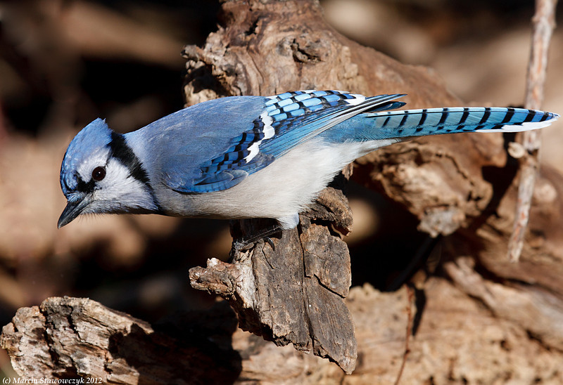 Glimpse of a bluejay