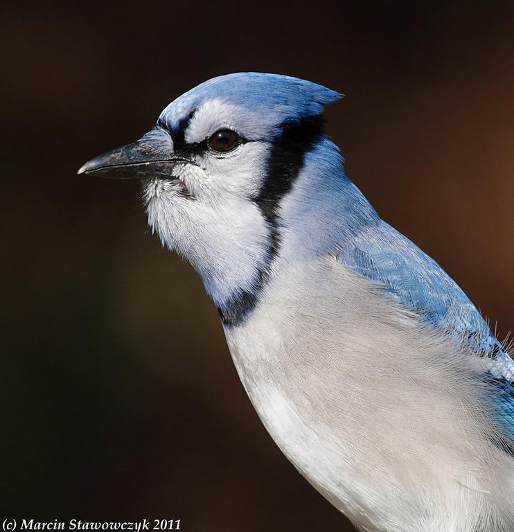 Blue-jay portrait
