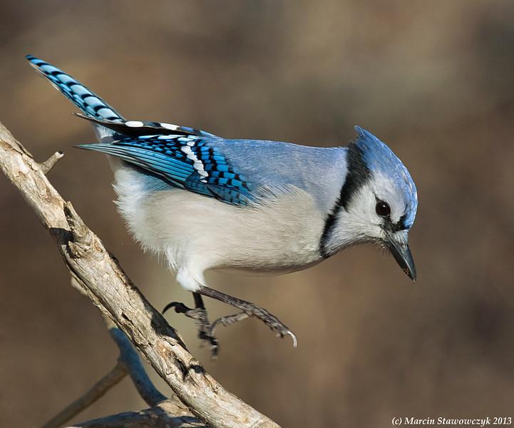 Jumping Blue Jay