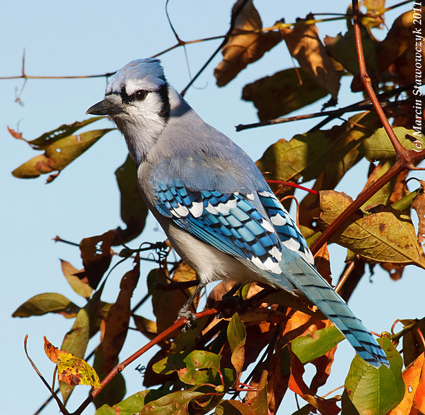 Bluejay in the autumn