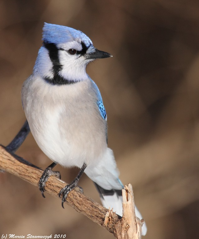Bluejay looking back