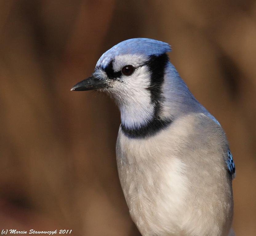 Bluejay closeup