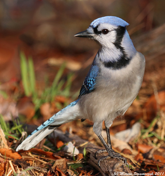 Bluejay in the fall