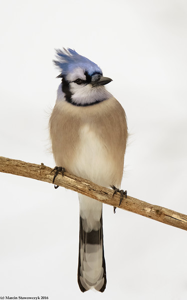 Blue Jay in whites