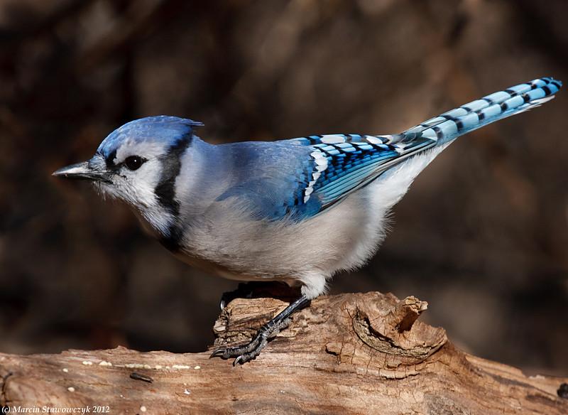 Bluejay profile