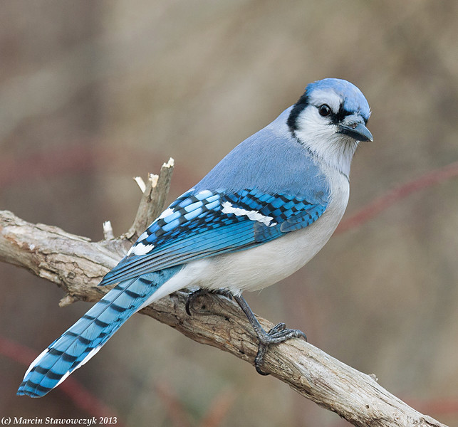 Bluejay from the back