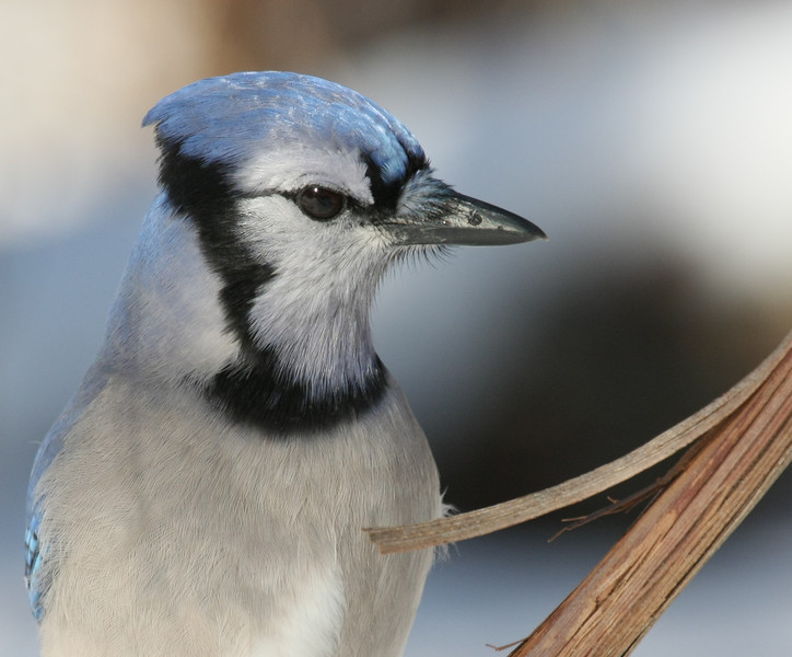 Bluejay and the splinter