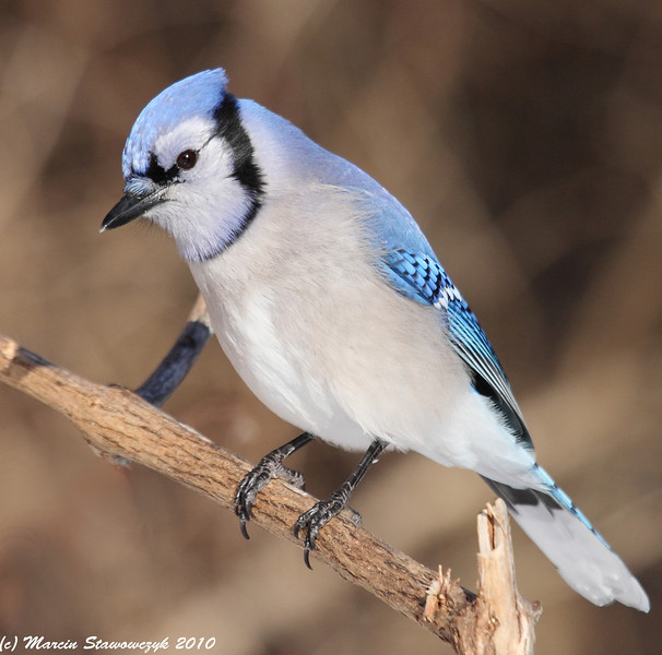 Another blue-jay