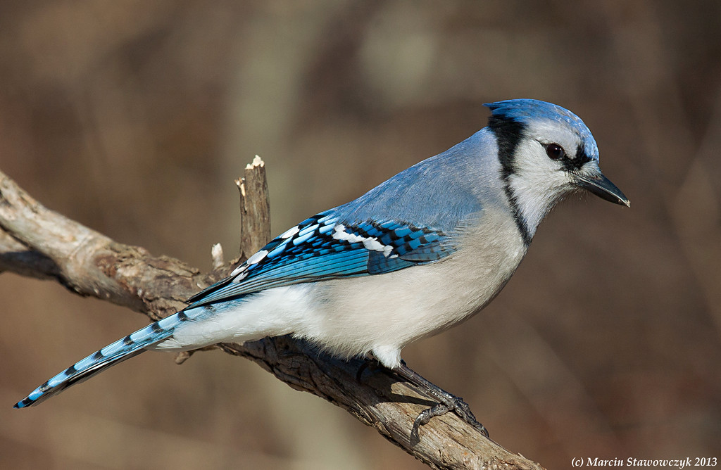 Profile of blue jay