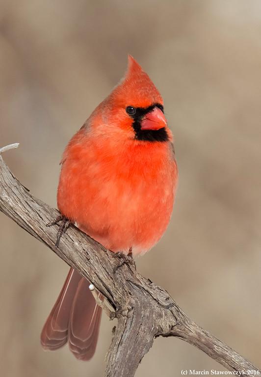Posing cardinal