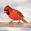 Cardinal and the snow