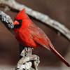Sitting cardinal